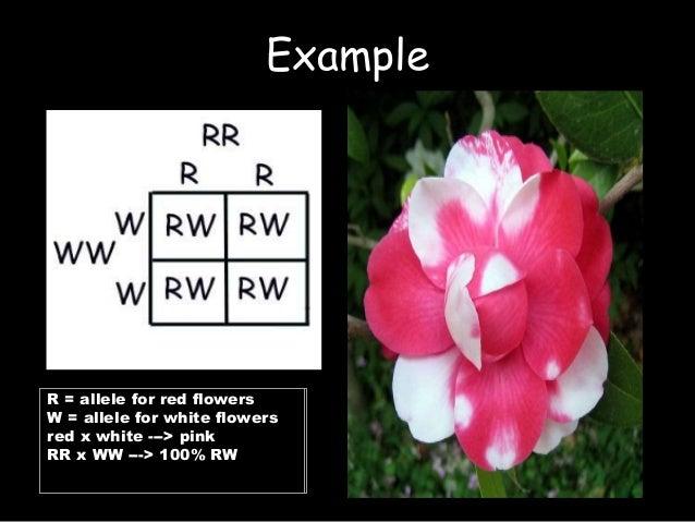 Nonmendelian genetics part2 7 example r allele for red flowers mightylinksfo