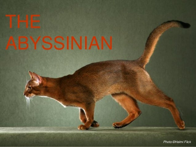 THEABYSSINIAN             Photo ©Helmi Flick