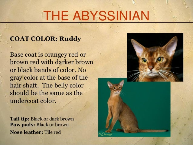 Black Abyssinian Cat Colors