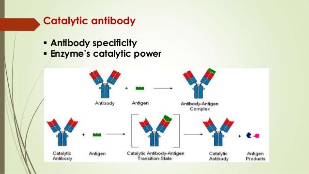 abzymecatalytic antibody