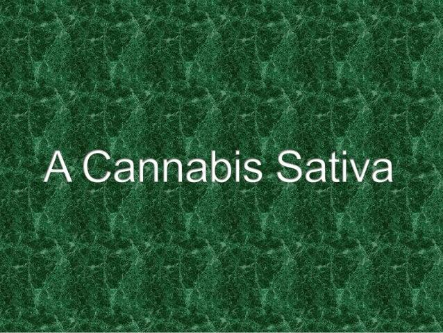  Planta herbácea de clima quente e úmido, originária da  Índia, a maconha (Cannabis sativa) pertence à família Moraceae e...