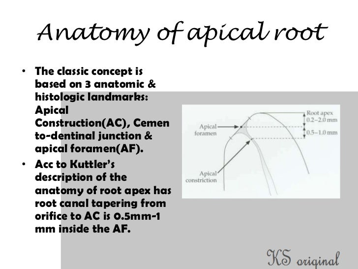 Canine Root Canal Diagram - Auto Wiring Diagram Today •