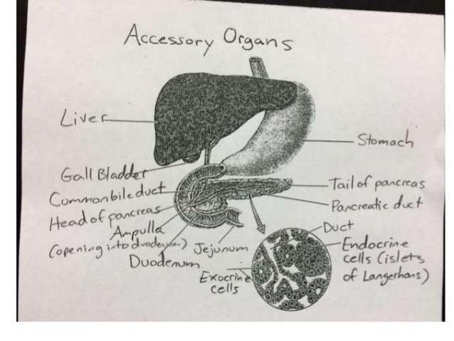 Accessory Organs Diagram