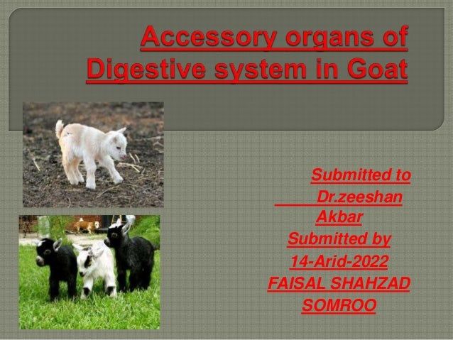 Which Of The Following Is An Accessory Organ Of Digestion Extraordinary Accessory Organs Of Digestive System In Goat