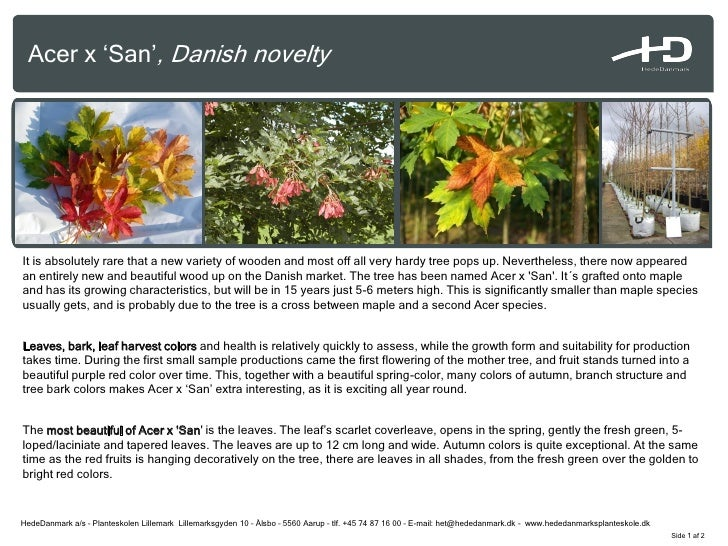 Acer x 'San', Danish novelty     It is absolutely rare that a new variety of wooden and most off all very hardy tree pops ...
