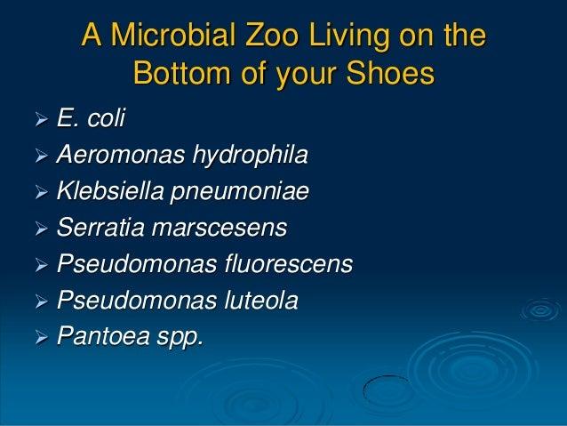 A Microbial Zoo Living on the Bottom of your Shoes  E. coli  Aeromonas hydrophila  Klebsiella pneumoniae  Serratia mar...