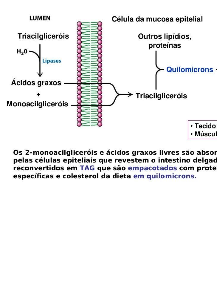 Célula da mucosa epitelial   Triacilgliceróis                Outros lipídios,                                     proteína...