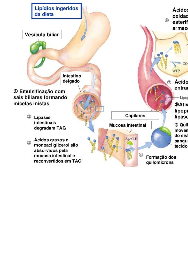 Lipídios ingeridos                                     Ácidos graxos são        da dieta                                  ...