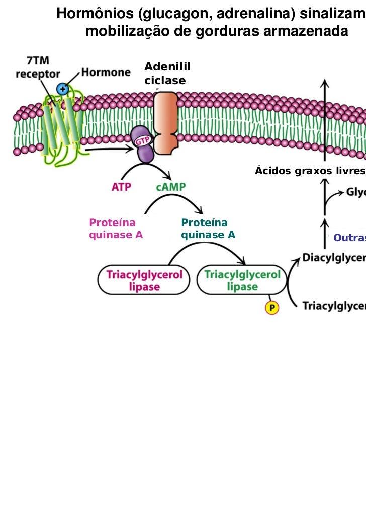 Hormônios (glucagon, adrenalina) sinalizam a   mobilização de gorduras armazenada                Adenilil                c...