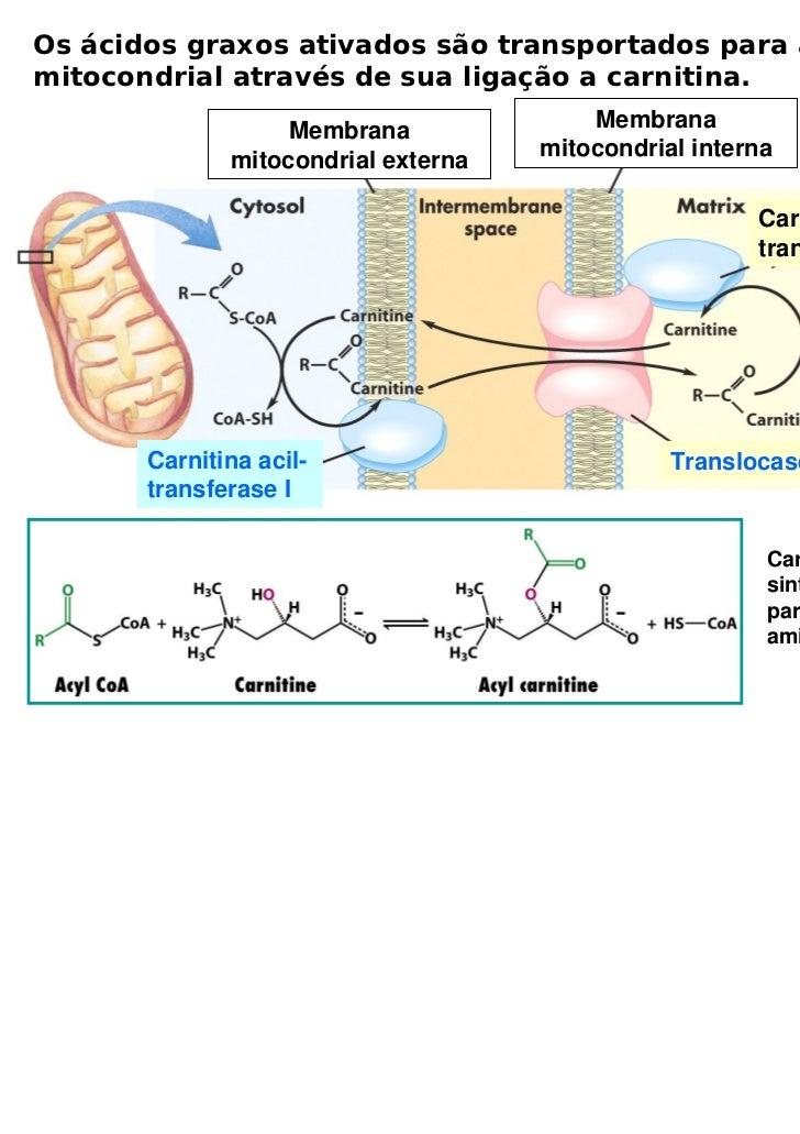 Os ácidos graxos ativados são transportados para a matrizmitocondrial através de sua ligação a carnitina.                 ...