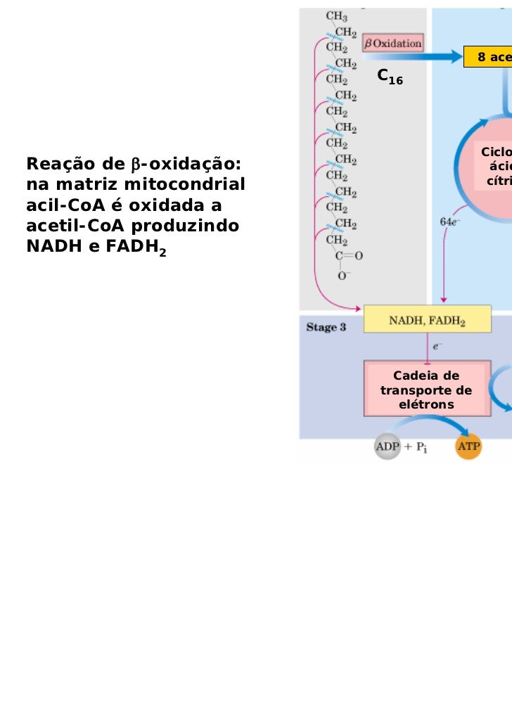 8 acetil-CoA                         C16                                         Ciclo doReação de β-oxidação:            ...