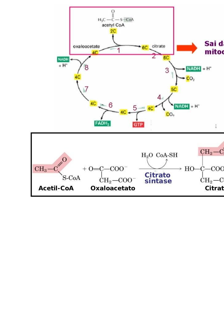 Citrato                            sintaseAcetil-CoA   Oxaloacetato             Citrato