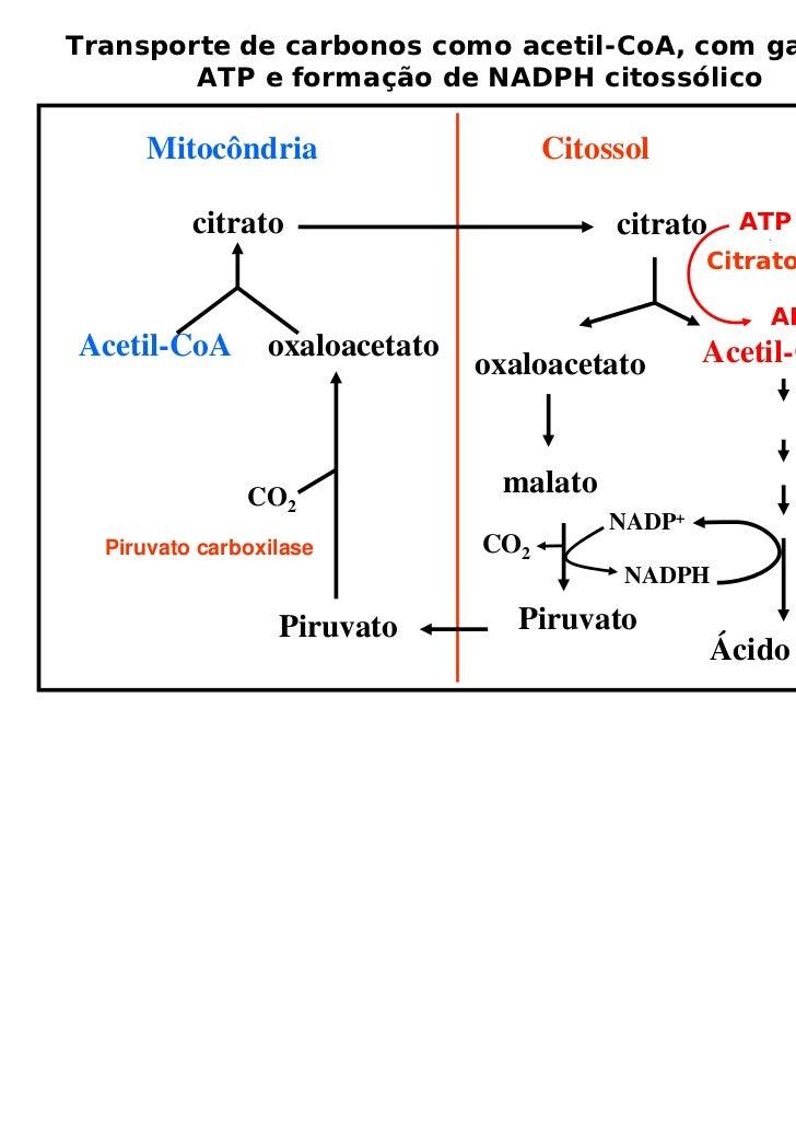 Transporte de carbonos como acetil-CoA, com gasto de        ATP e formação de NADPH citossólico     Mitocôndria           ...