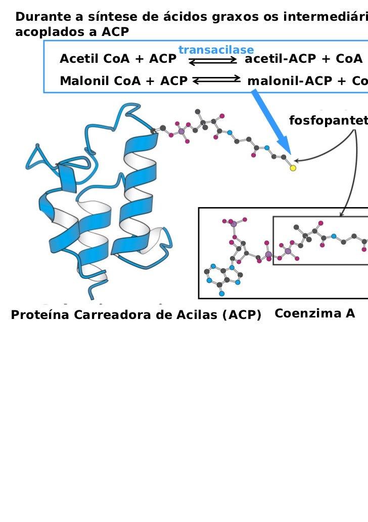 Durante a síntese de ácidos graxos os intermediários estãoacoplados a ACP                         transacilase      Acetil...