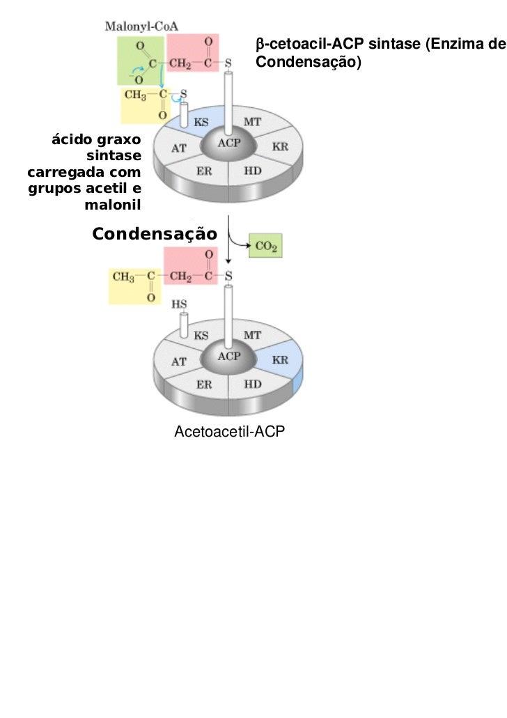 β-cetoacil-ACP sintase (Enzima de                            Condensação)   ácido graxo       sintasecarregada comgrupos a...