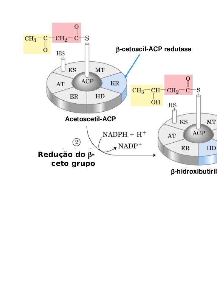 β-cetoacil-ACP redutase      Acetoacetil-ACPRedução do β-   ceto grupo                                        β-hidroxibut...