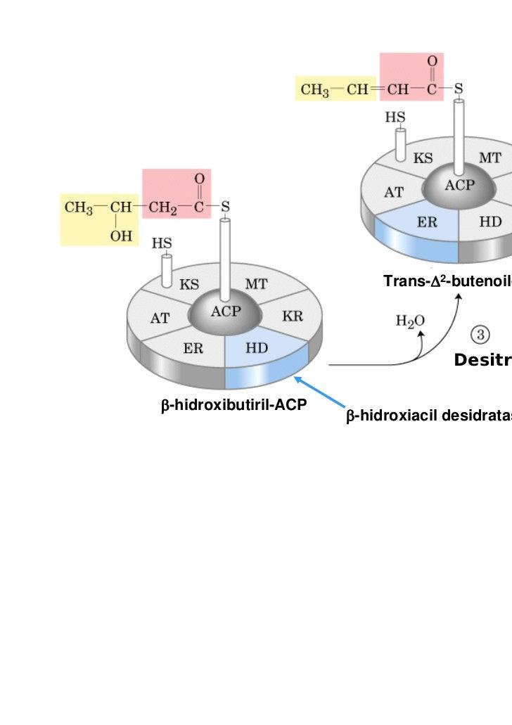Trans-Δ2-butenoil-ACP                                     Desitrataçãoβ-hidroxibutiril-ACP                       β-hidroxi...