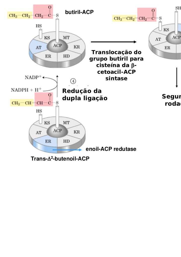 butiril-ACP                      Translocação do                     grupo butiril para                       cisteína da ...
