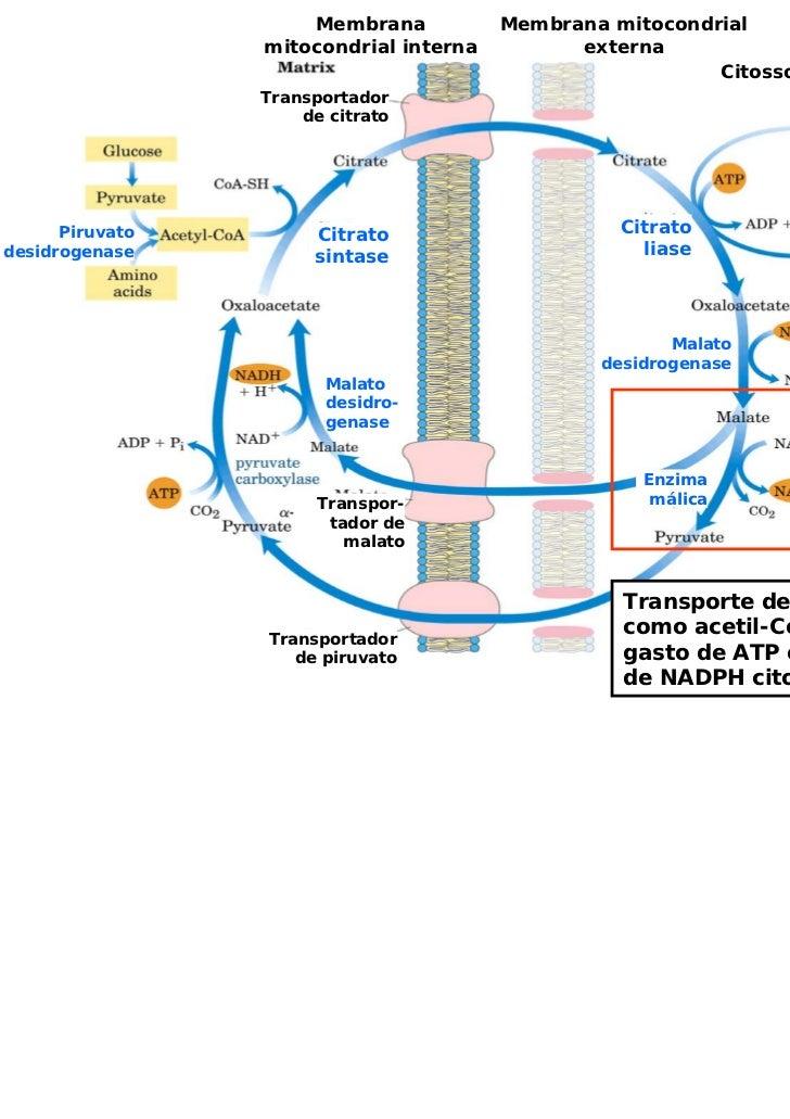 Membrana           Membrana mitocondrial                 mitocondrial interna         externa                             ...