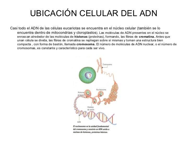 ubicacion en la celula adn