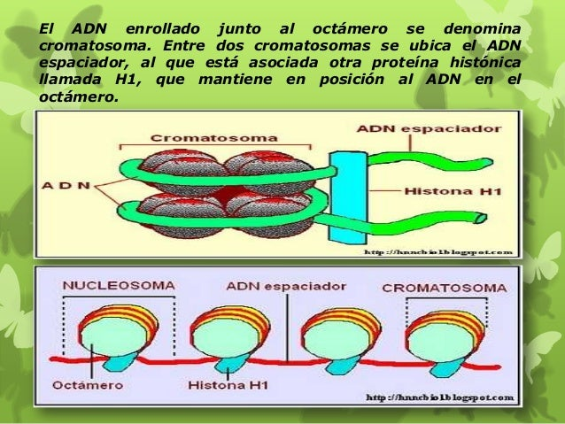 Resultado de imagen de cromatosoma
