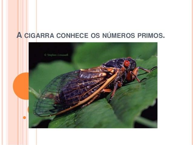 A CIGARRA CONHECE OS NÚMEROS PRIMOS.
