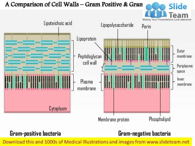 A comparison of the cell walls gram-positive and gram-negative medi…