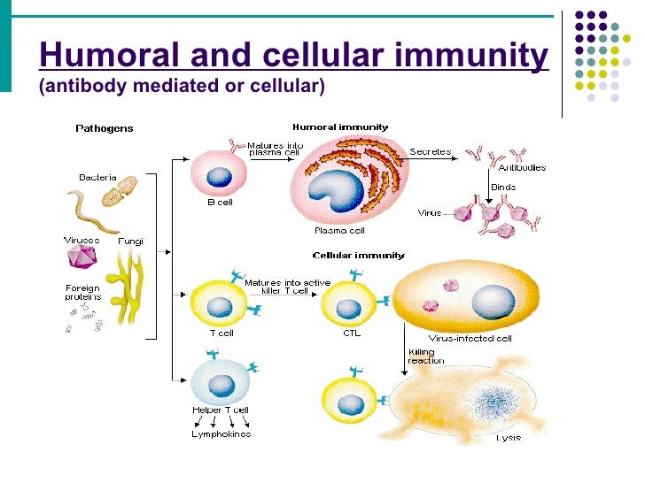immunity acquired antibody humoral mediated cellular immune response innate adaptive specific difference virus antibodies between non