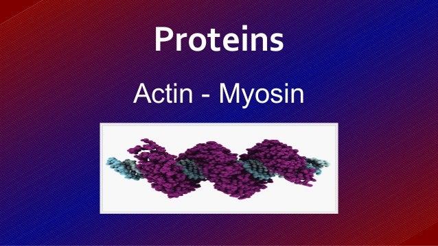 Actin - Myosin Proteins