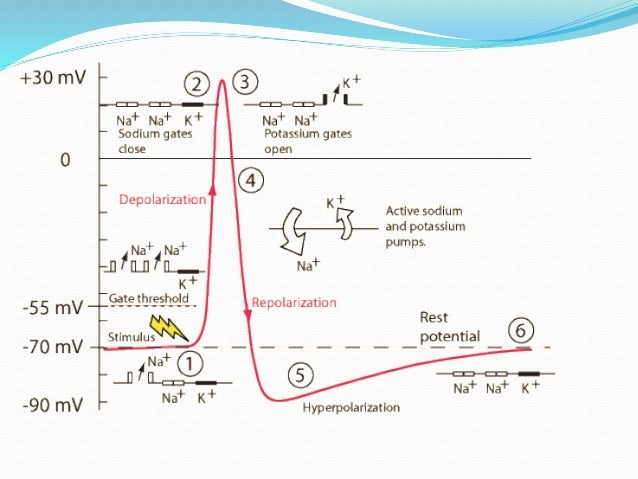 General Physiology - Action potential
