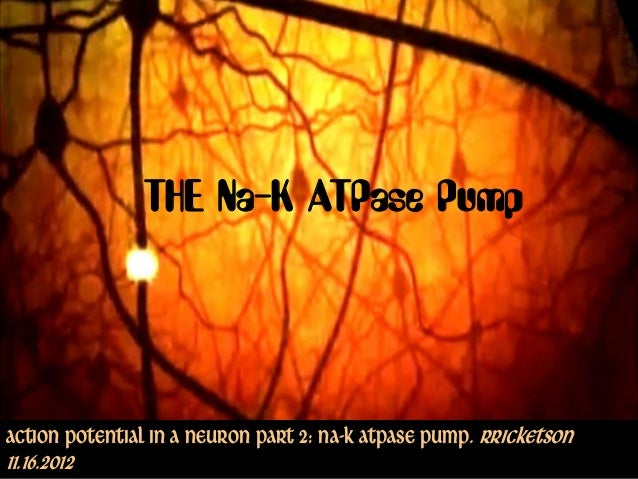 THE Na-K ATPase PumpAction Potential in a Neuron part 2: Na-K ATPase Pump. Rricketson11.16.2012                Copyright ©...