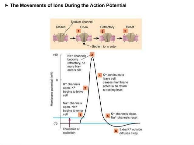 action potential and ion channels An action potential allows a nerve cell to transmit an electrical signal down the axon toward other cells learn more about how action the sodium channels open.