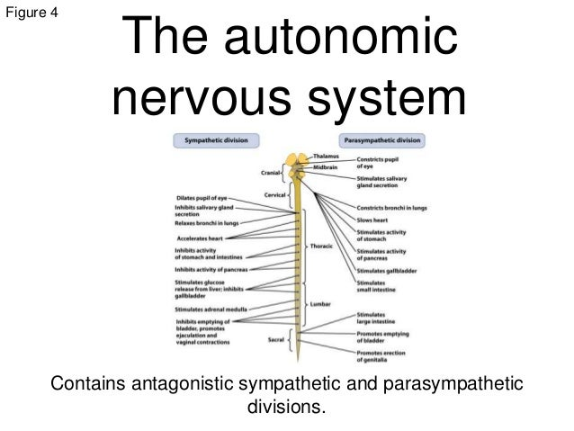 Action potentials animal systems 30 figure 4 the autonomic nervous system ccuart Image collections