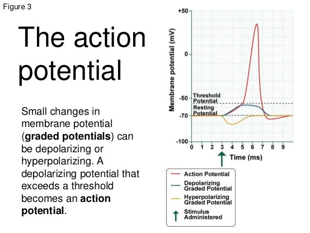 action potential graded potential