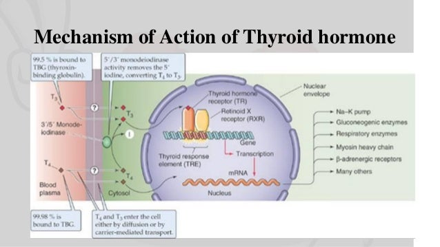 Mechanism of Action & Functions of Thyroid Hormone I Endocrine Physiology  Slide 2