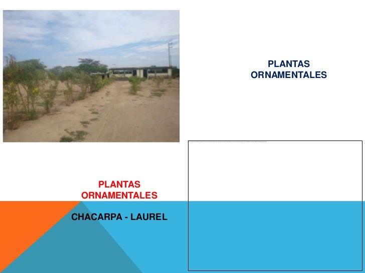 PLANTAS                    ORNAMENTALES    PLANTAS ORNAMENTALESCHACARPA - LAUREL
