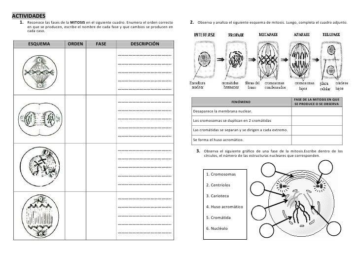 Famoso Las Mitosis Y Meiosis Hojas De Trabajo Del Ciclo Celular ...