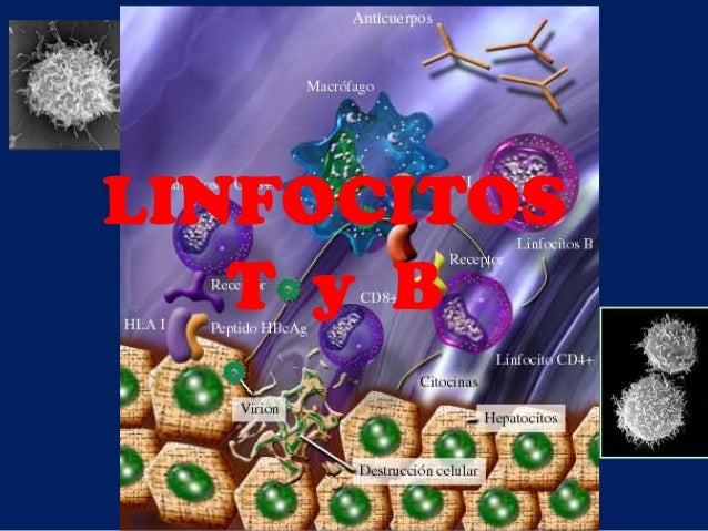 LINFOCITOS T y B