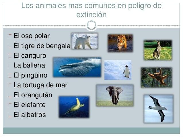 Los animales mas comunes en peligro de extinción El oso polar El tigre de bengala El canguro La ballena El pingüino La tor...