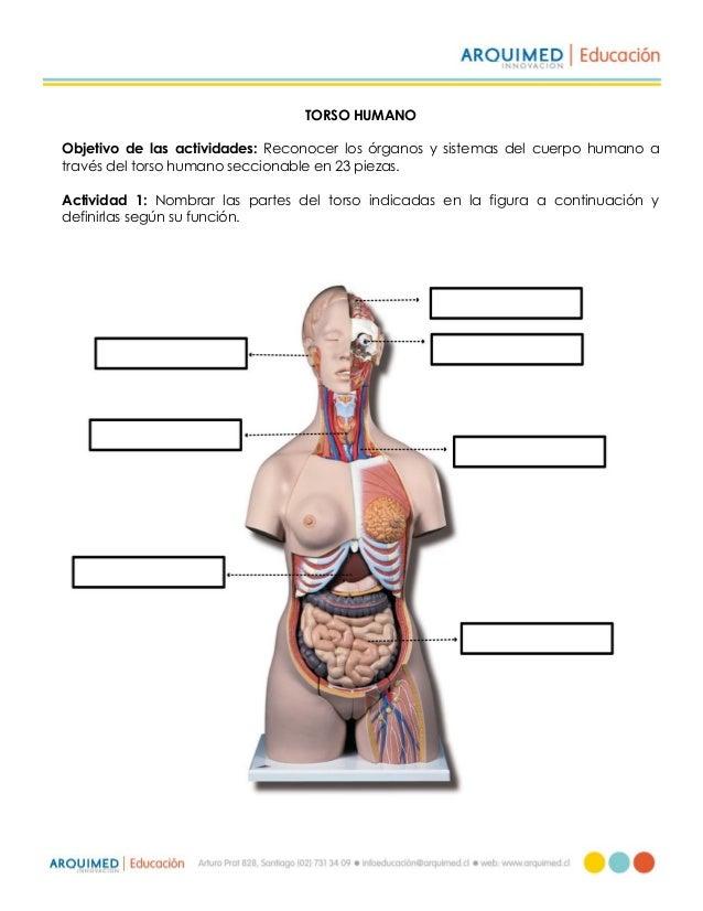 Actividad torso humano (23 piezas)
