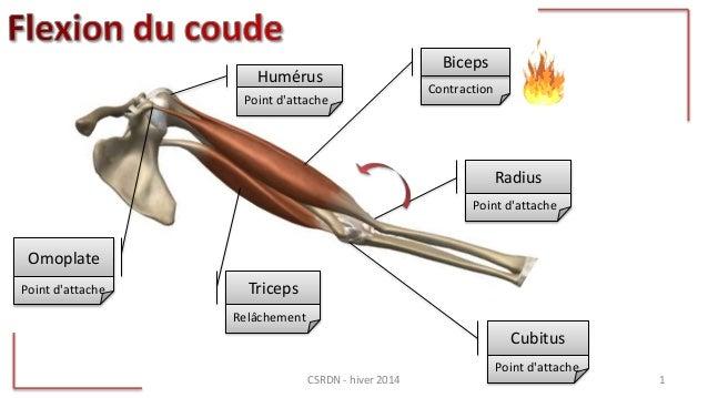 Contraction Biceps Radius Omoplate Triceps Humérus Point d'attache Point d'attache Relâchement Cubitus Point d'attache Poi...