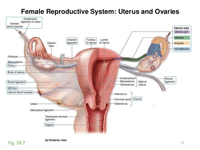 Activity 12 urinary reproductive female reproductive system uterus and ovaries 17fig ccuart Gallery