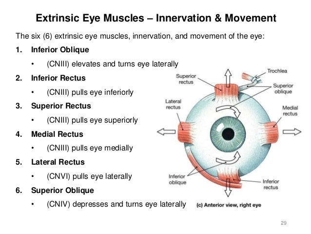 Activity 8 spinal cord eye ear 2 28 extrinsic eye muscles medial view 29 ccuart Choice Image