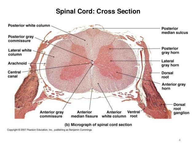 Activity 8 Spinal Cord Eye Ear 2