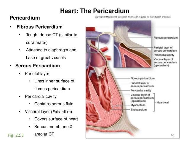 activity 9-blood-heart, Human Body