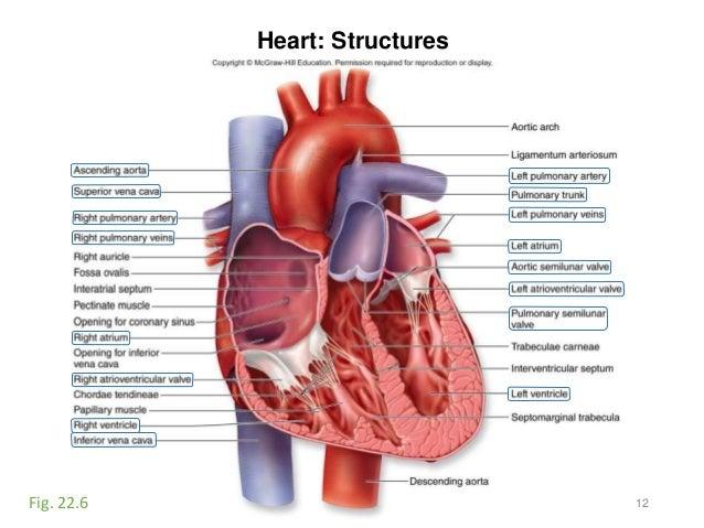 Activity 9-blood-heart