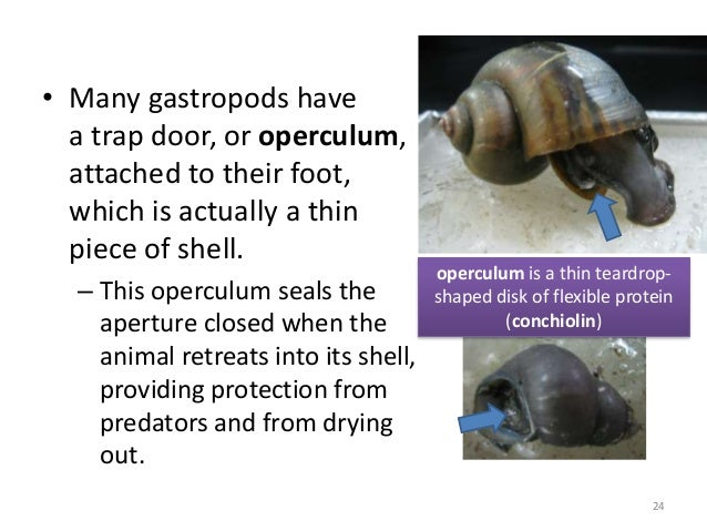 • Many gastropods have a trap door, or operculum, attached to their foot, which is actually a thin piece of shell. – This ...