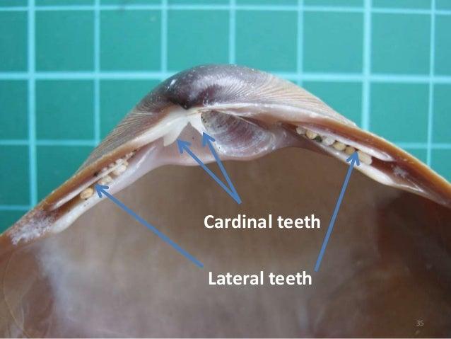 Cardinal teeth Lateral teeth 35