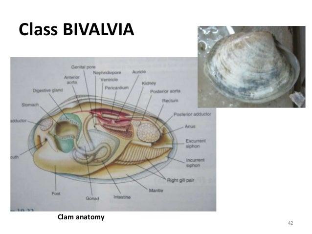 Class BIVALVIA Clam anatomy 42