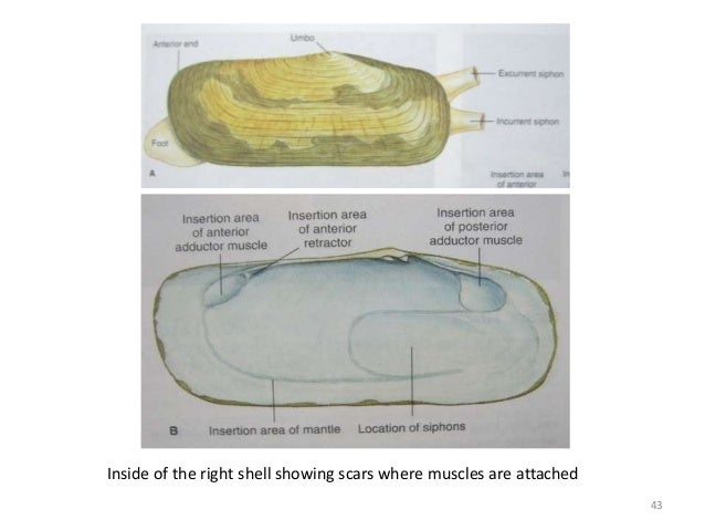 Inside of the right shell showing scars where muscles are attached 43